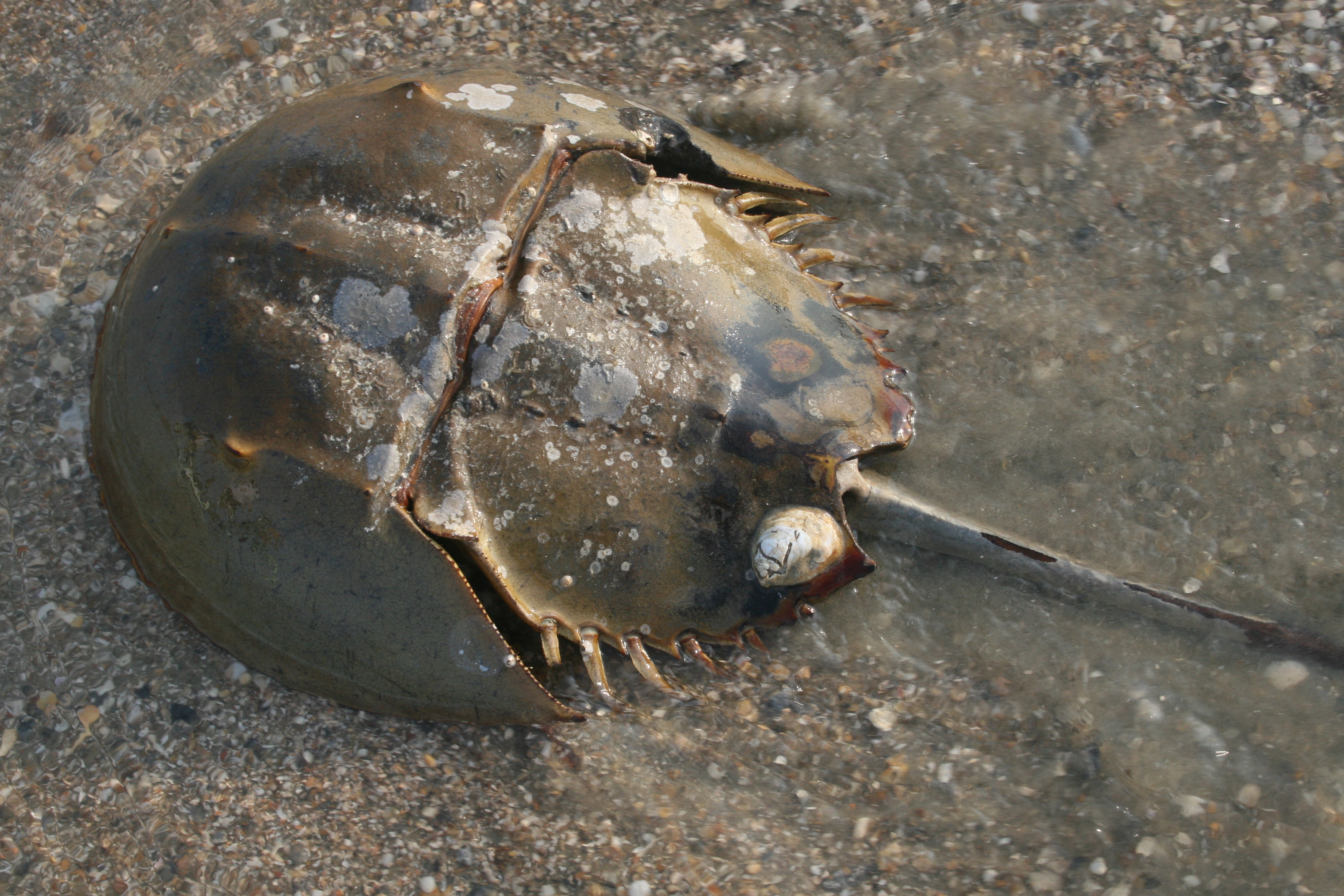 Horseshoe crabs provide slow moving real estate for other organisms, like this slipper limpet.