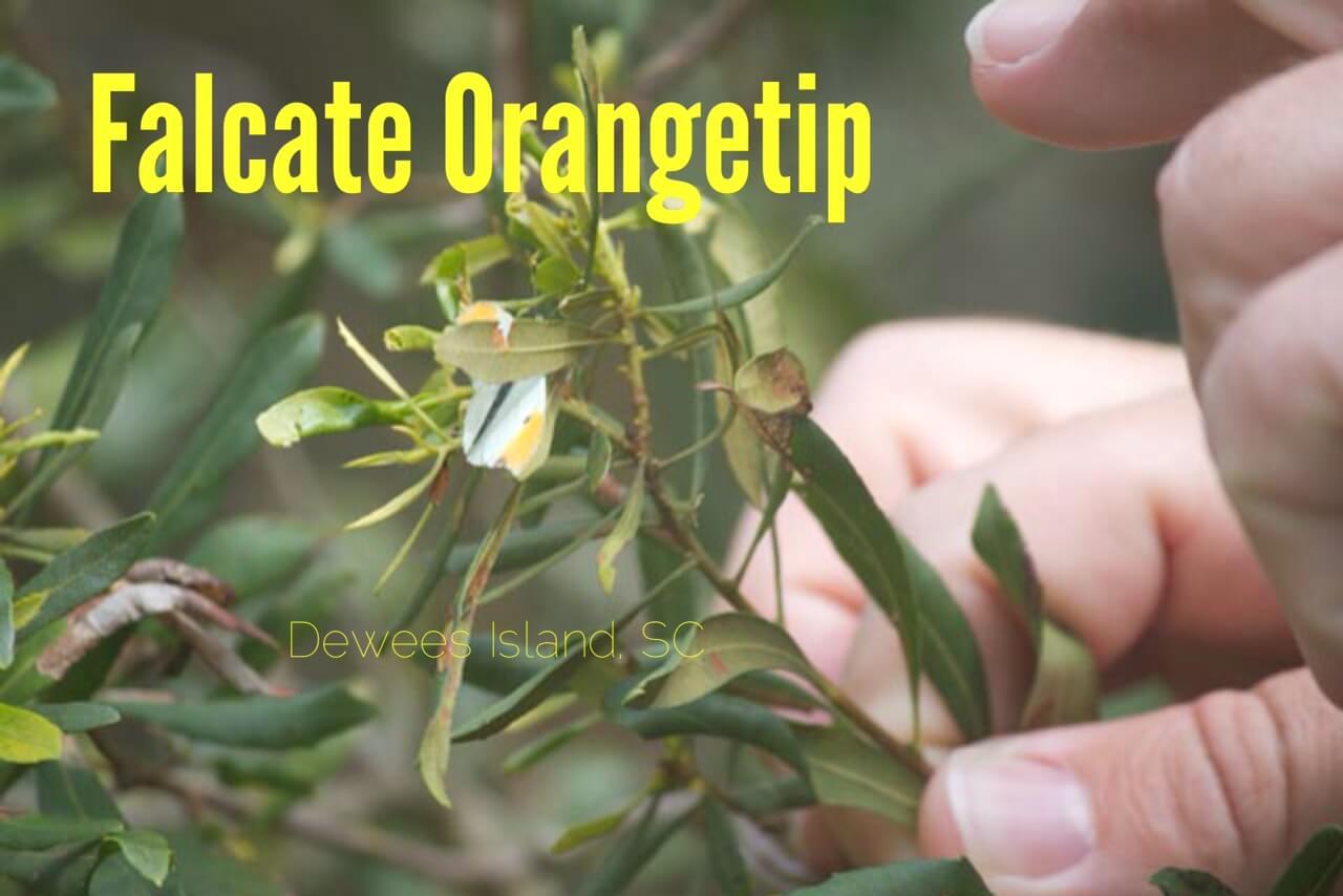 Falcate Orangetip
