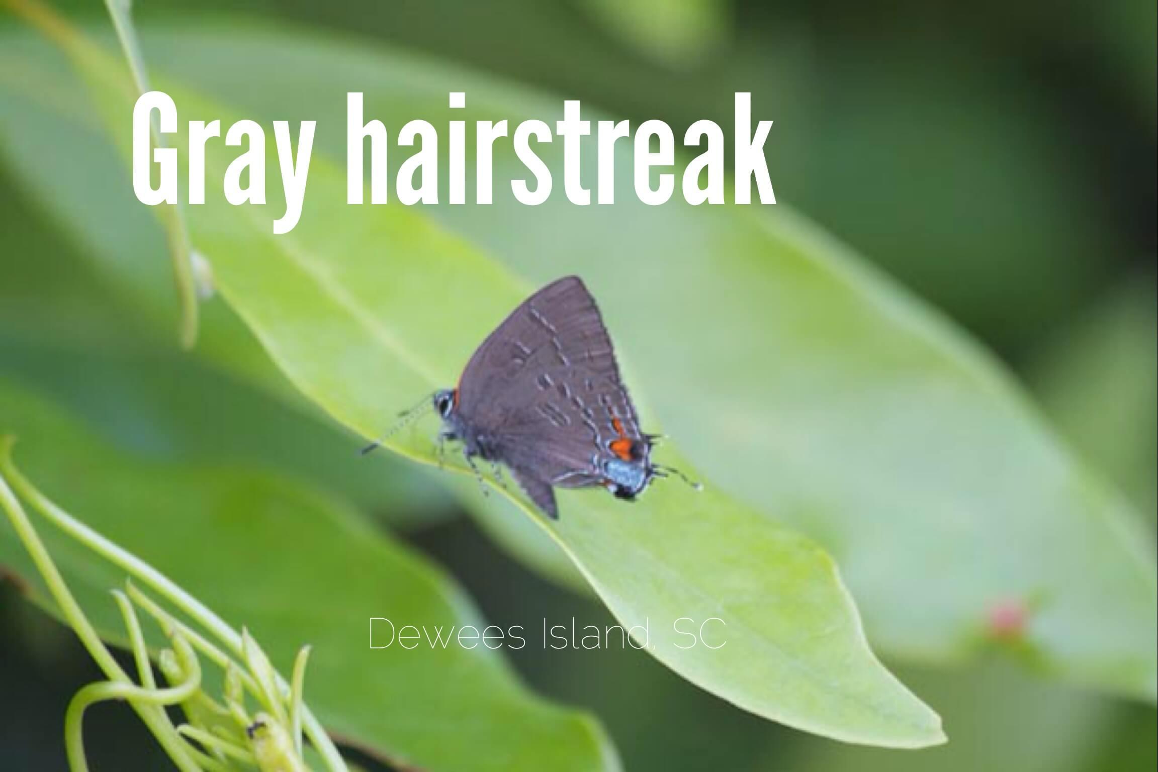 Gray Hairstreak