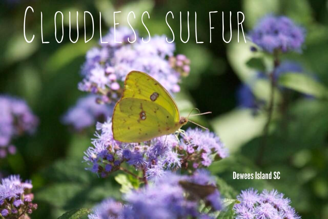 cloudless sulfur
