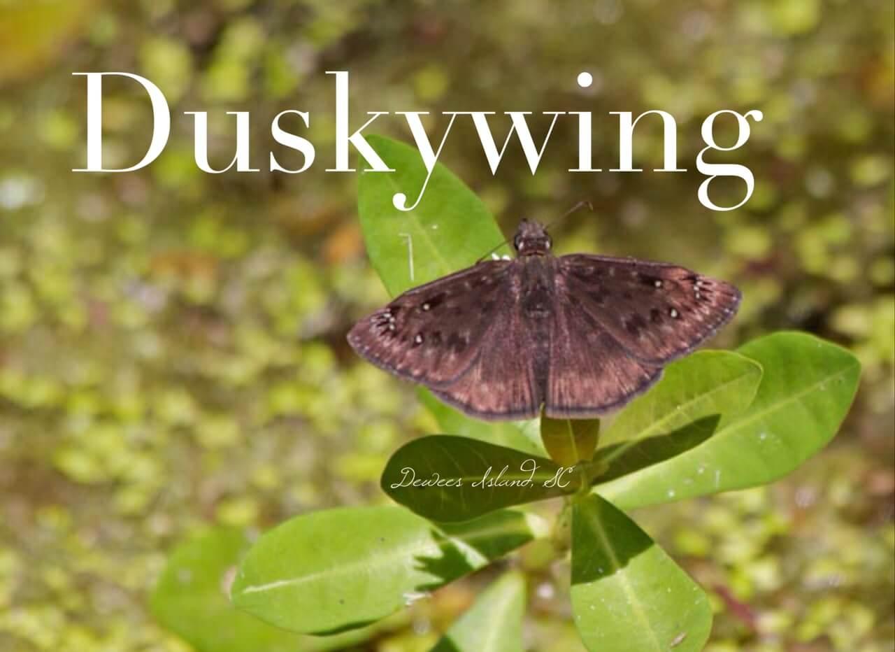 duskywing