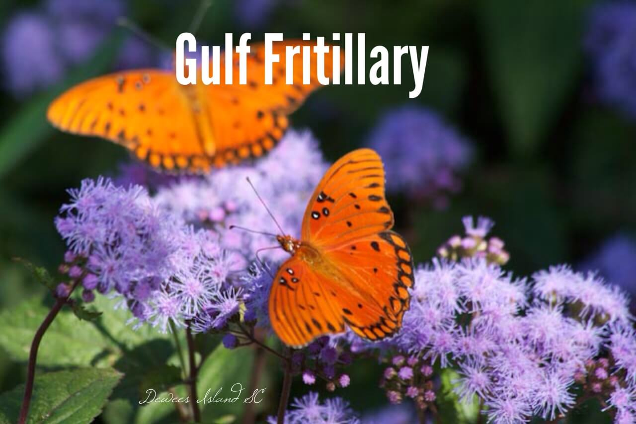 fritillary