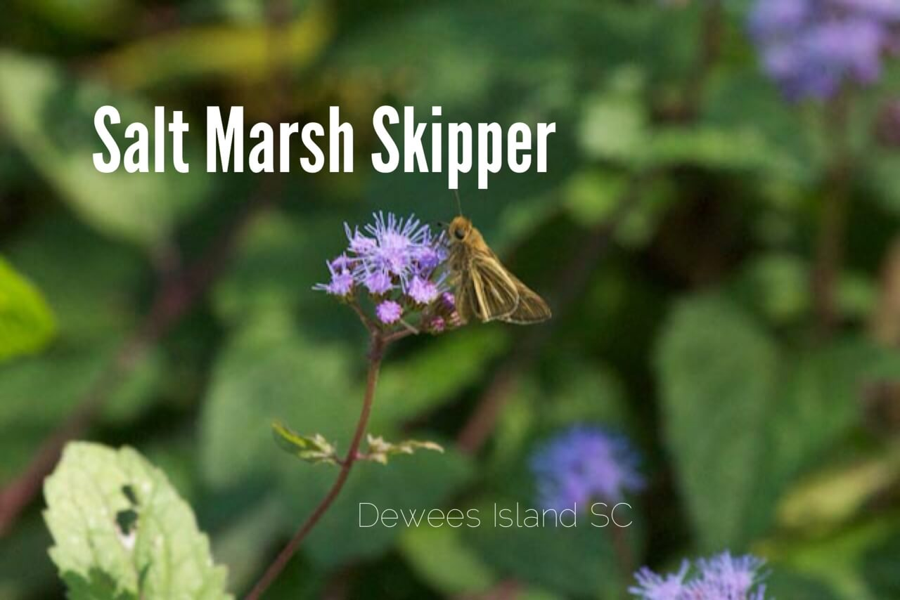 salt marsh skipper
