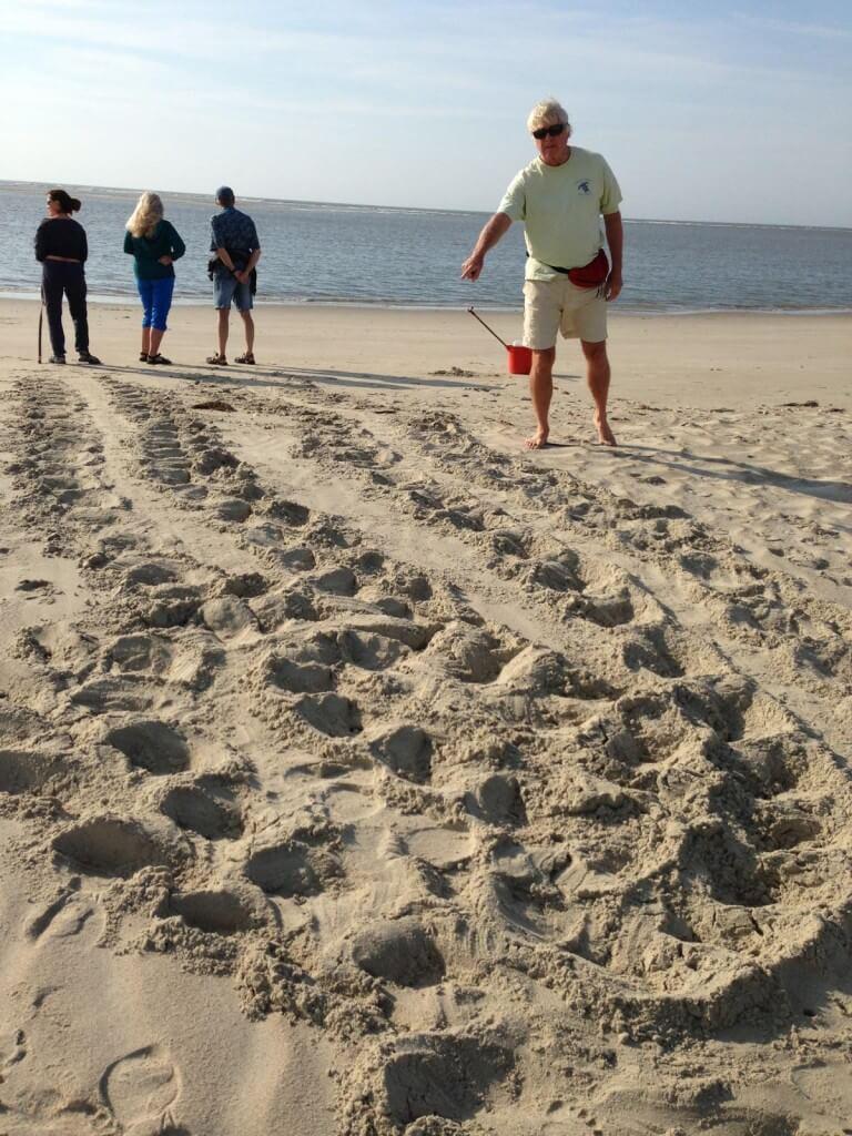 Loggerhead turtle false crawl