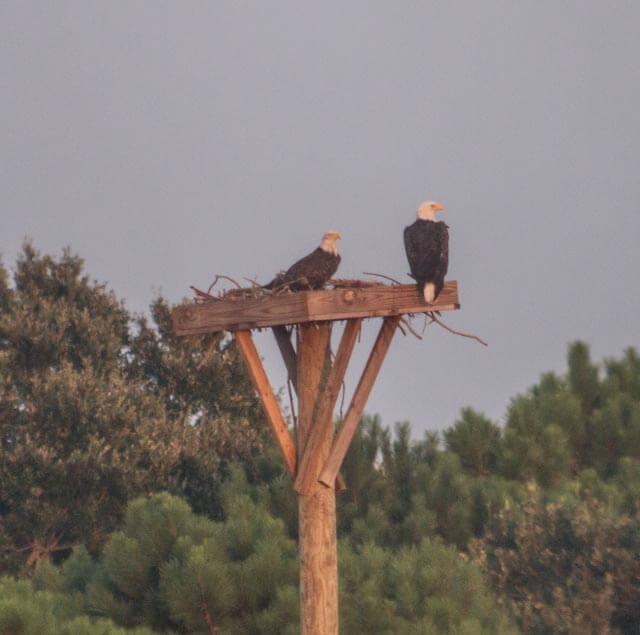 Bald Eagles on platform, September 16, 2014 Dewees Island
