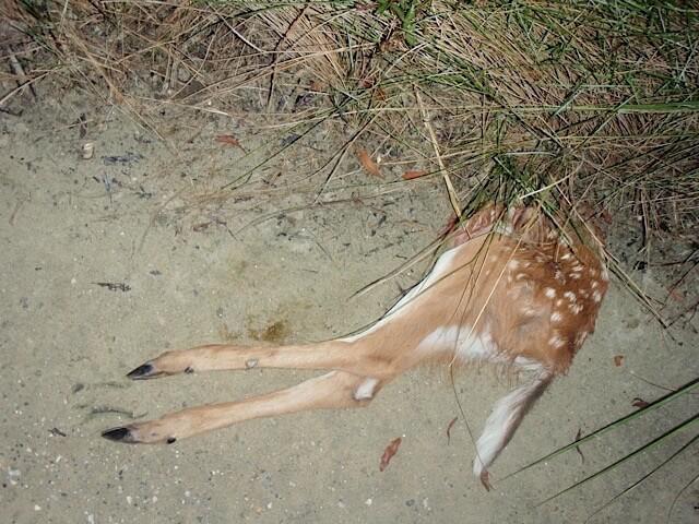 bobcat kill