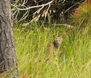 Bobcat Photos taken 2 ways by Conservancy Interns
