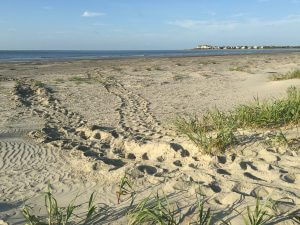 2016 Loggerhead Turtle Nesting Season off to a Roaring Start