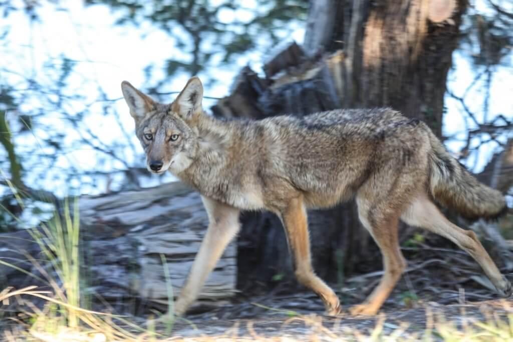 dewees island coyote