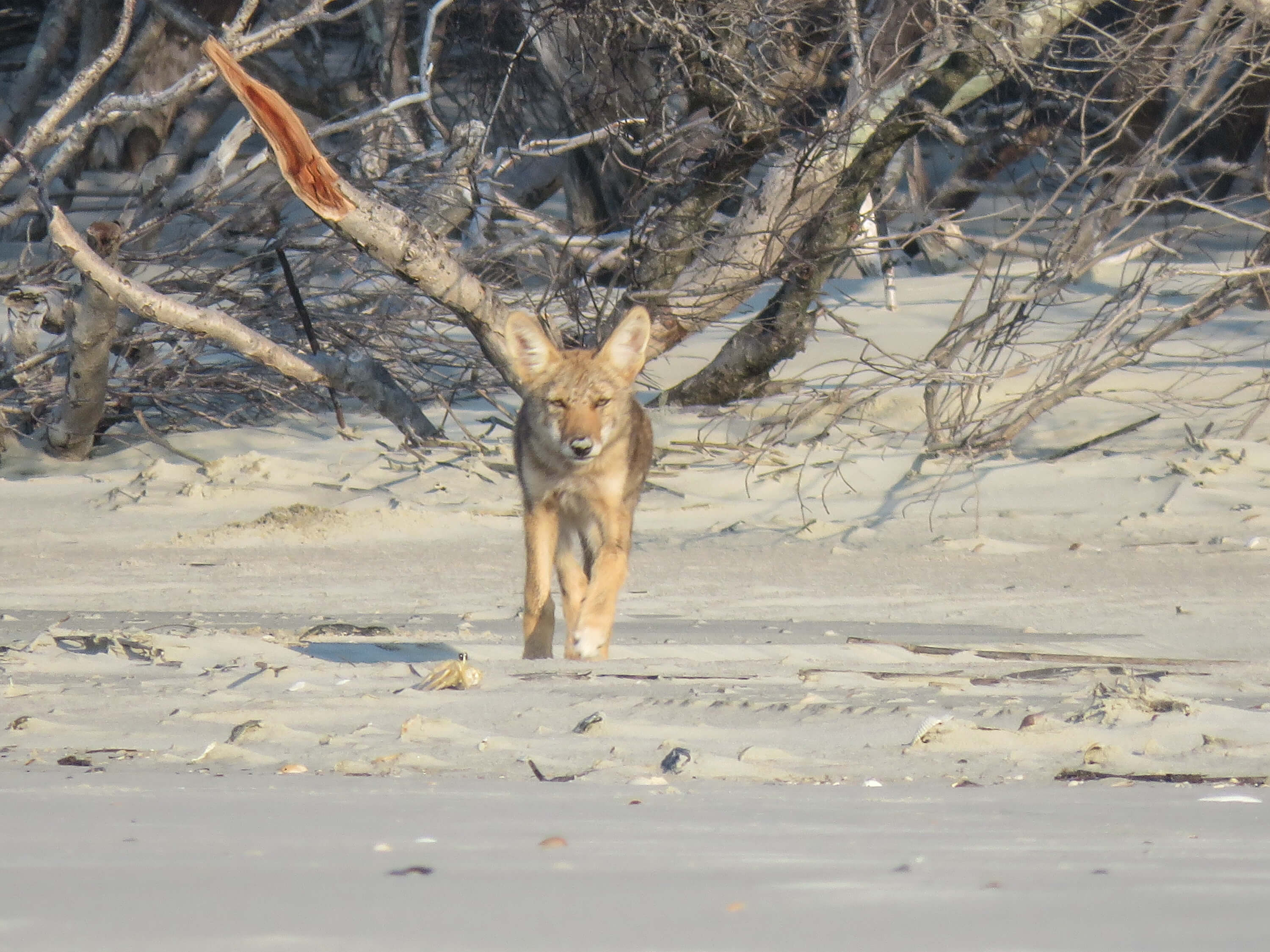 Coyote Pup plays on the beach