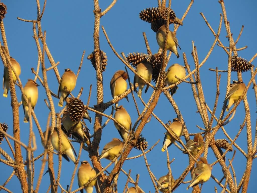 cedar waxwings in pine