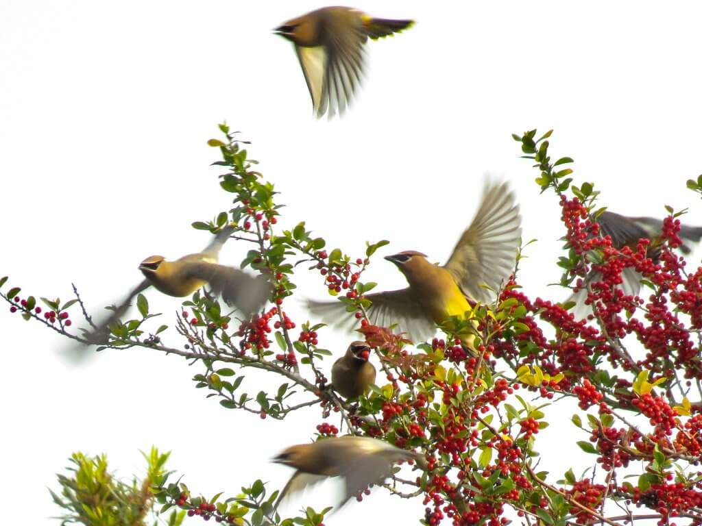 waxwings in holly