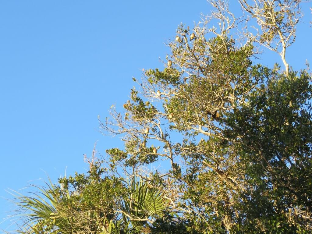 Cedar Waxwings hiding in the top of an oak