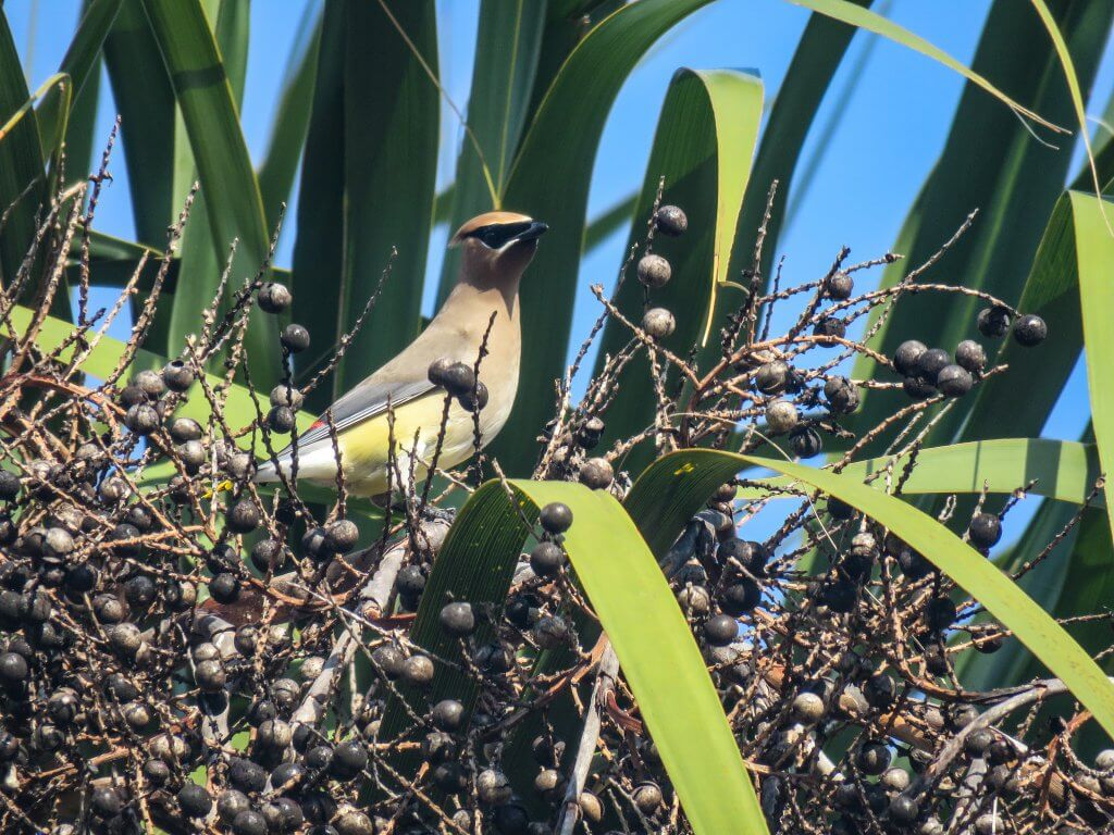 Waxwing with palmetto berries